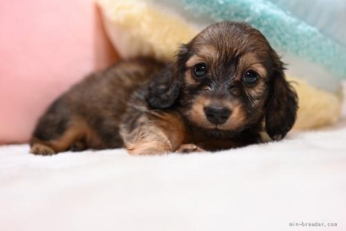 ミニチュアダックスフンド(ロング)の子犬(ID:1272911005)の1枚目の写真/更新日:2018-06-21