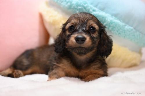 ミニチュアダックスフンド(ロング)の子犬(ID:1272911005)の2枚目の写真/更新日:2018-06-21