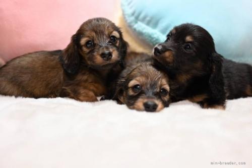 ミニチュアダックスフンド(ロング)の子犬(ID:1272911005)の3枚目の写真/更新日:2018-06-21