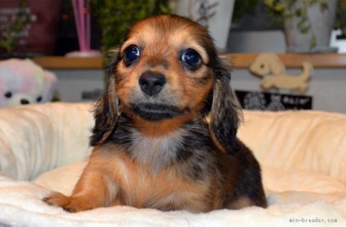 ミニチュアダックスフンド(ロング)の子犬(ID:1272911006)の1枚目の写真/更新日:2018-07-26
