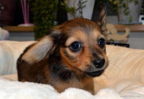 ミニチュアダックスフンド(ロング)の子犬(ID:1272911006)の3枚目の写真/更新日:2018-06-21
