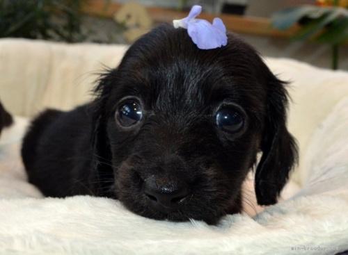 ミニチュアダックスフンド(ロング)の子犬(ID:1272911007)の1枚目の写真/更新日:2018-07-16