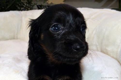 ミニチュアダックスフンド(ロング)の子犬(ID:1272911007)の3枚目の写真/更新日:2018-07-16