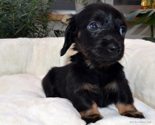 ミニチュアダックスフンド(ロング)の子犬(ID:1272911007)の4枚目の写真/更新日:2019-02-04