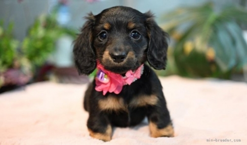 ミニチュアダックスフンド(ロング)の子犬(ID:1272911008)の1枚目の写真/更新日:2018-08-15