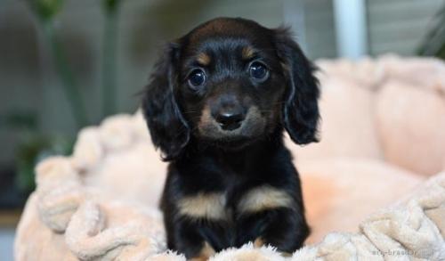 ミニチュアダックスフンド(ロング)の子犬(ID:1272911008)の2枚目の写真/更新日:2018-08-15