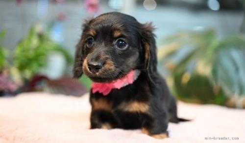 ミニチュアダックスフンド(ロング)の子犬(ID:1272911008)の3枚目の写真/更新日:2018-08-15