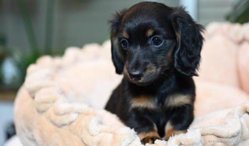 ミニチュアダックスフンド(ロング)の子犬(ID:1272911008)の4枚目の写真/更新日:2018-08-15