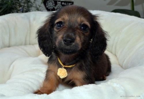 ミニチュアダックスフンド(ロング)の子犬(ID:1272911009)の1枚目の写真/更新日:2018-09-06