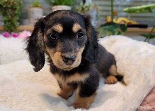 ミニチュアダックスフンド(ロング)の子犬(ID:1272911010)の1枚目の写真/更新日:2018-08-20