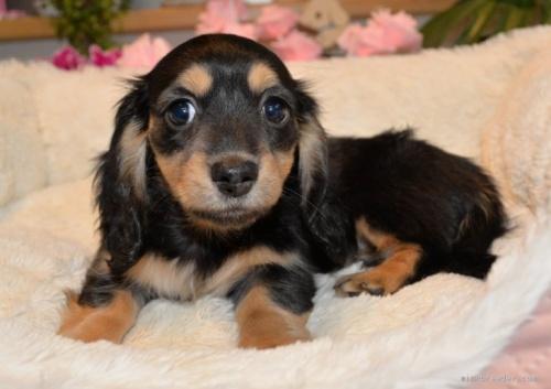 ミニチュアダックスフンド(ロング)の子犬(ID:1272911010)の2枚目の写真/更新日:2018-08-20