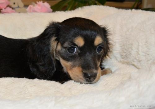 ミニチュアダックスフンド(ロング)の子犬(ID:1272911010)の3枚目の写真/更新日:2018-08-20