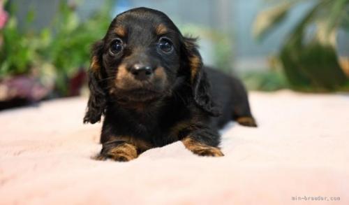 ミニチュアダックスフンド(ロング)の子犬(ID:1272911011)の1枚目の写真/更新日:2018-08-20