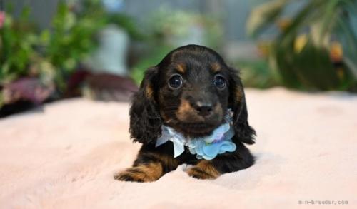 ミニチュアダックスフンド(ロング)の子犬(ID:1272911011)の2枚目の写真/更新日:2018-08-20