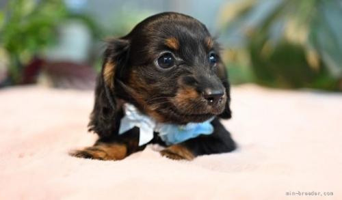 ミニチュアダックスフンド(ロング)の子犬(ID:1272911011)の3枚目の写真/更新日:2018-08-20