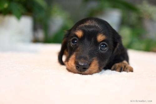 ミニチュアダックスフンド(ロング)の子犬(ID:1272911012)の1枚目の写真/更新日:2018-08-20
