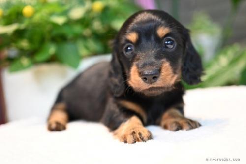 ミニチュアダックスフンド(ロング)の子犬(ID:1272911012)の2枚目の写真/更新日:2018-08-20