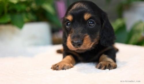 ミニチュアダックスフンド(ロング)の子犬(ID:1272911012)の3枚目の写真/更新日:2018-08-20