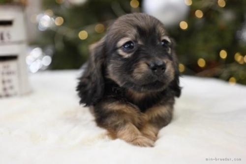 ミニチュアダックスフンド(ロング)の子犬(ID:1272911013)の2枚目の写真/更新日:2018-09-03