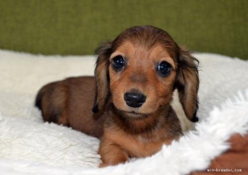 ミニチュアダックスフンド(ロング)の子犬(ID:1272911014)の1枚目の写真/更新日:2018-09-10
