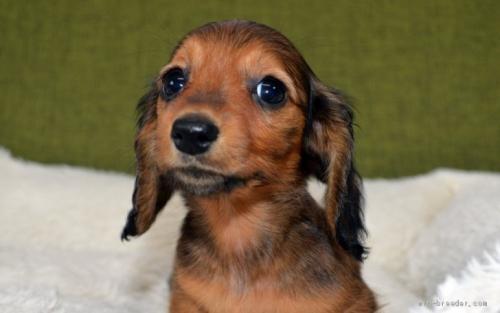 ミニチュアダックスフンド(ロング)の子犬(ID:1272911014)の2枚目の写真/更新日:2018-09-10