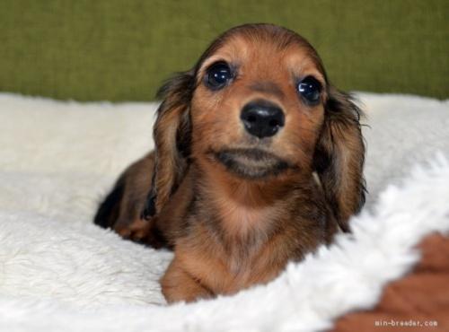 ミニチュアダックスフンド(ロング)の子犬(ID:1272911014)の3枚目の写真/更新日:2018-09-10