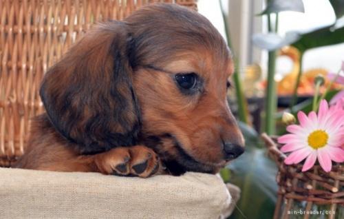 ミニチュアダックスフンド(ロング)の子犬(ID:1272911014)の4枚目の写真/更新日:2018-09-10