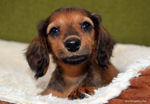 ミニチュアダックスフンド(ロング)の子犬(ID:1272911015)の1枚目の写真/更新日:2018-09-10