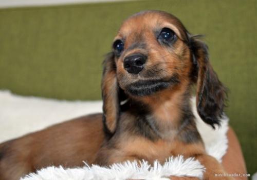 ミニチュアダックスフンド(ロング)の子犬(ID:1272911015)の2枚目の写真/更新日:2018-09-10