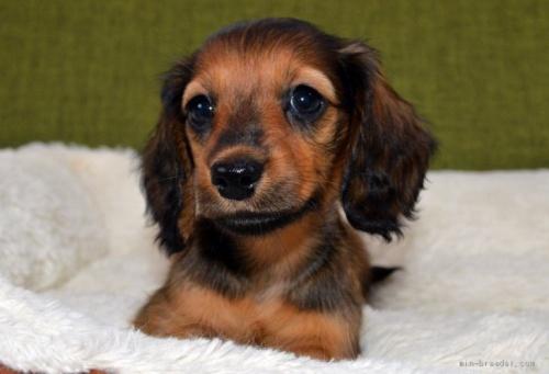 ミニチュアダックスフンド(ロング)の子犬(ID:1272911015)の3枚目の写真/更新日:2018-09-10