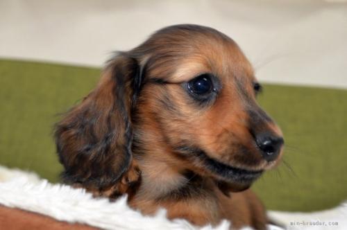 ミニチュアダックスフンド(ロング)の子犬(ID:1272911015)の4枚目の写真/更新日:2018-09-10