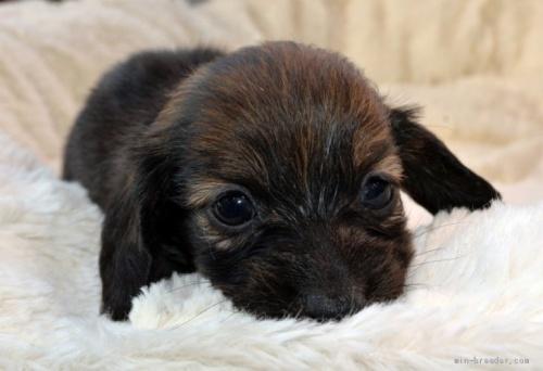 ミニチュアダックスフンド(ロング)の子犬(ID:1272911016)の1枚目の写真/更新日:2018-09-10