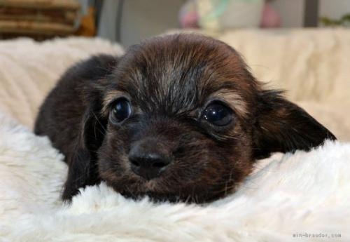 ミニチュアダックスフンド(ロング)の子犬(ID:1272911016)の2枚目の写真/更新日:2018-09-10
