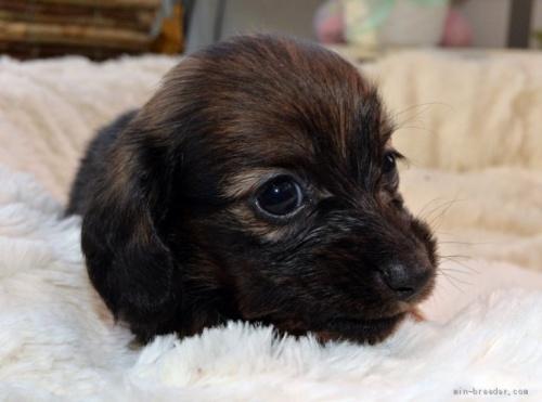 ミニチュアダックスフンド(ロング)の子犬(ID:1272911016)の3枚目の写真/更新日:2018-09-10