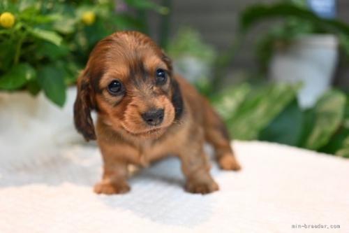ミニチュアダックスフンド(ロング)の子犬(ID:1272911017)の1枚目の写真/更新日:2018-09-12