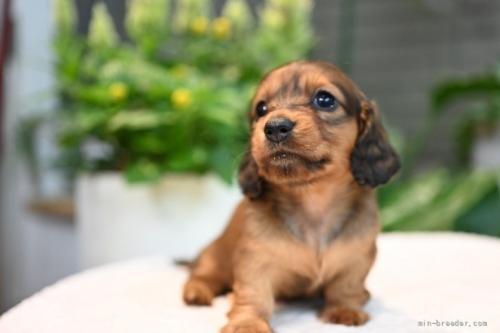 ミニチュアダックスフンド(ロング)の子犬(ID:1272911017)の2枚目の写真/更新日:2018-09-12