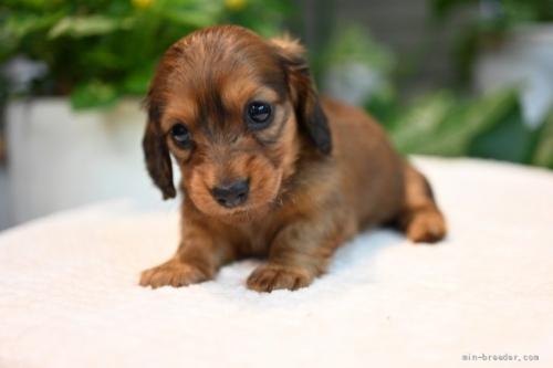 ミニチュアダックスフンド(ロング)の子犬(ID:1272911017)の4枚目の写真/更新日:2021-09-24