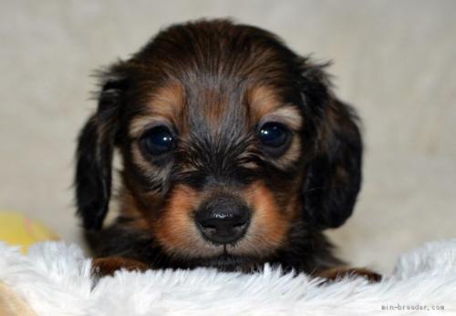 ミニチュアダックスフンド(ロング)の子犬(ID:1272911019)の1枚目の写真/更新日:2021-04-28