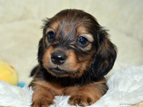 ミニチュアダックスフンド(ロング)の子犬(ID:1272911019)の2枚目の写真/更新日:2021-04-28