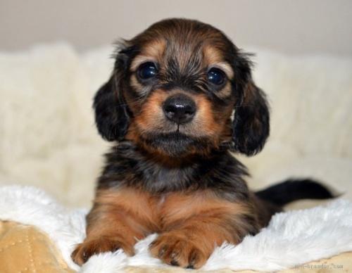 ミニチュアダックスフンド(ロング)の子犬(ID:1272911019)の3枚目の写真/更新日:2021-04-28
