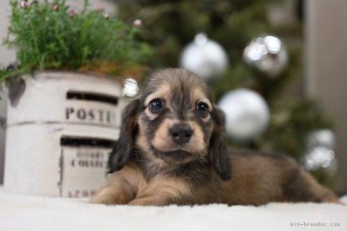 ミニチュアダックスフンド(ロング)の子犬(ID:1272911025)の2枚目の写真/更新日:2020-11-20