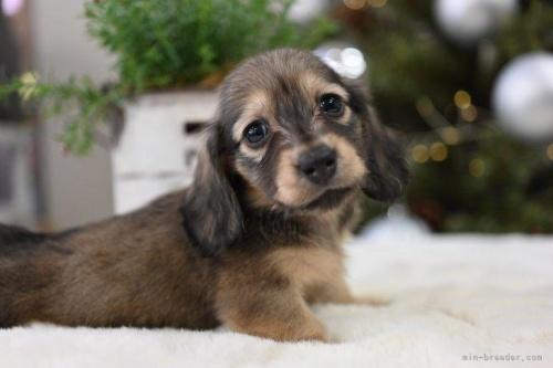 ミニチュアダックスフンド(ロング)の子犬(ID:1272911025)の3枚目の写真/更新日:2020-11-20