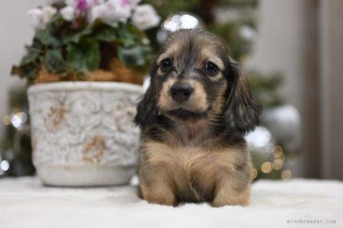 ミニチュアダックスフンド(ロング)の子犬(ID:1272911025)の4枚目の写真/更新日:2020-11-20