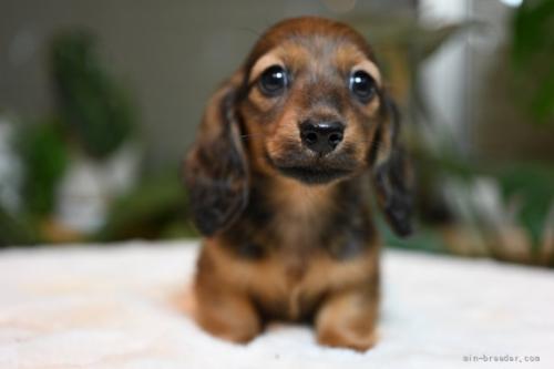 ミニチュアダックスフンド(ロング)の子犬(ID:1272911026)の1枚目の写真/更新日:2018-11-08