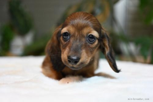 ミニチュアダックスフンド(ロング)の子犬(ID:1272911026)の3枚目の写真/更新日:2018-11-08