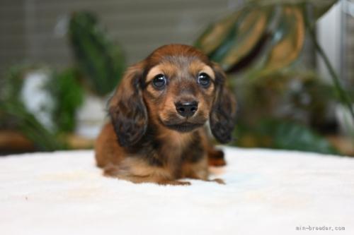 ミニチュアダックスフンド(ロング)の子犬(ID:1272911026)の4枚目の写真/更新日:2018-11-08
