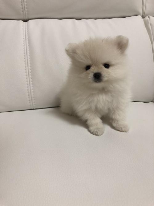 ポメラニアンの子犬(ID:1273011001)の1枚目の写真/更新日:2018-07-17