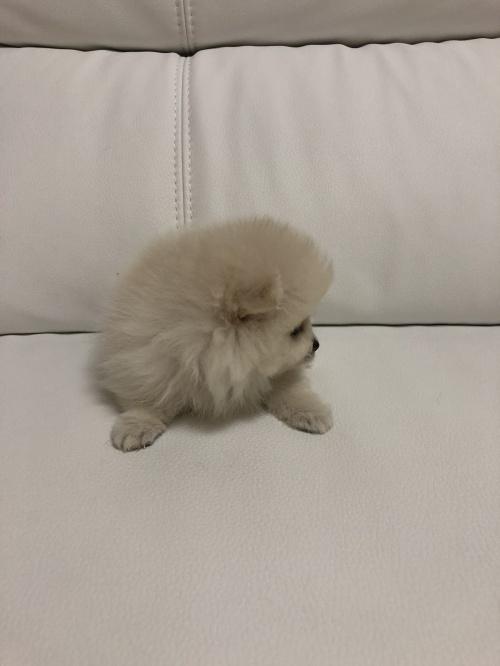 ポメラニアンの子犬(ID:1273011001)の2枚目の写真/更新日:2018-07-17