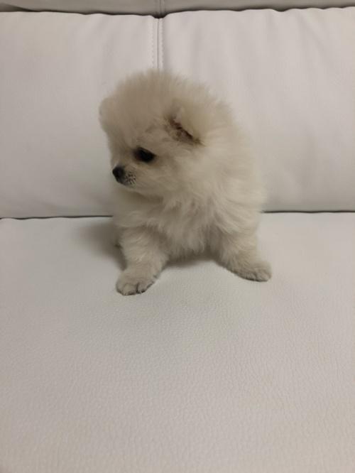 ポメラニアンの子犬(ID:1273011001)の3枚目の写真/更新日:2018-07-17