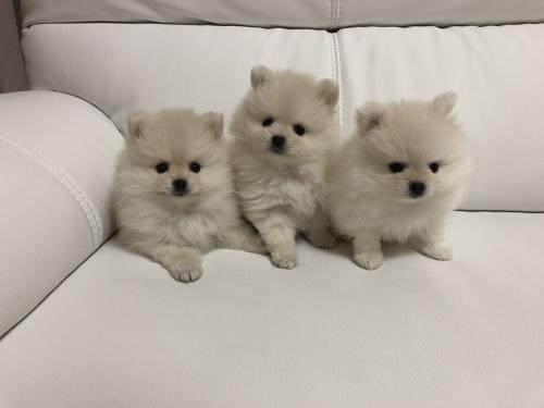 ポメラニアンの子犬(ID:1273011001)の4枚目の写真/更新日:2018-07-17